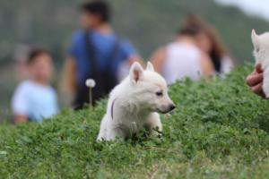 White-Swiss-Shepherd-Puppies-BTWW-GosaNostra-September-12092018-0022