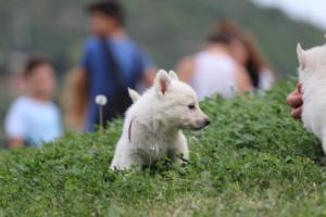 White-Swiss-Shepherd-Puppies-BTWW-GosaNostra-September-12092018-0023