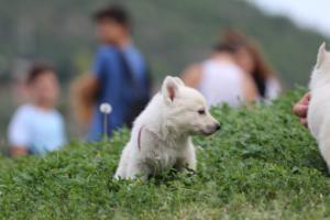 White-Swiss-Shepherd-Puppies-BTWW-GosaNostra-September-12092018-0024