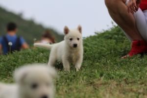 White-Swiss-Shepherd-Puppies-BTWW-GosaNostra-September-12092018-0030