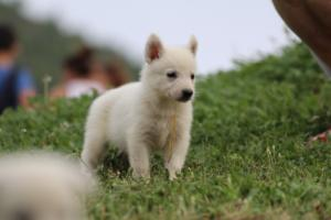 White-Swiss-Shepherd-Puppies-BTWW-GosaNostra-September-12092018-0031