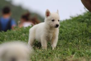 White-Swiss-Shepherd-Puppies-BTWW-GosaNostra-September-12092018-0032