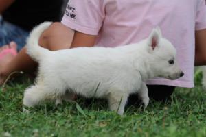 White-Swiss-Shepherd-Puppies-BT