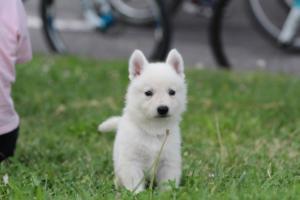 White-Swiss-Shepherd-Puppies-BTWW-GosaNostra-September-12092018-0104