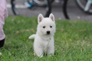 White-Swiss-Shepherd-Puppies-BTWW-GosaNostra-September-12092018-0105