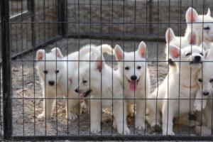 White-Swiss-Shepherd-Puppies-BTWW-GosaNostra-September-20092018-0019