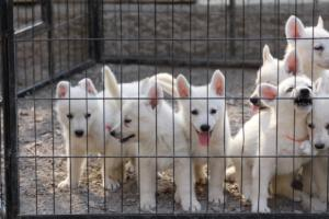 White-Swiss-Shepherd-Puppies-BTWW-GosaNostra-September-20092018-0020