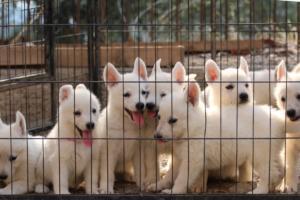 White-Swiss-Shepherd-Puppies-BTWW-GosaNostra-September-20092018-0021