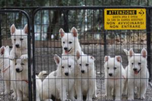 White-Swiss-Shepherd-Puppies-BTWW-GosaNostra-September-20092018-0022