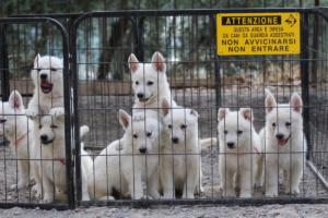 White-Swiss-Shepherd-Puppies-BTWW-GosaNostra-September-20092018-0023