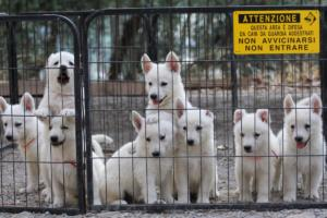 White-Swiss-Shepherd-Puppies-BTWW-GosaNostra-September-20092018-0024