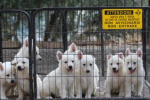 White-Swiss-Shepherd-Puppies-BTWW-GosaNostra-September-20092018-0025