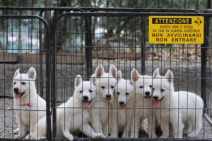 White-Swiss-Shepherd-Puppies-BTWW-GosaNostra-September-20092018-0026