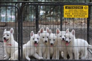 White-Swiss-Shepherd-Puppies-BTWW-GosaNostra-September-20092018-0027