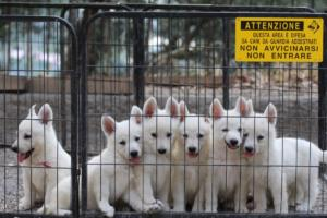 White-Swiss-Shepherd-Puppies-BTWW-GosaNostra-September-20092018-0028