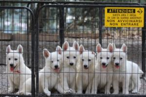 White-Swiss-Shepherd-Puppies-BTWW-GosaNostra-September-20092018-0029