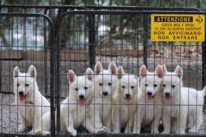 White-Swiss-Shepherd-Puppies-BTWW-GosaNostra-September-20092018-0030