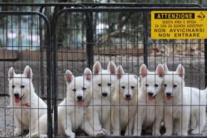White-Swiss-Shepherd-Puppies-BTWW-GosaNostra-September-20092018-0031