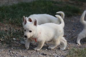 White-Swiss-Shepherd-Puppies-BTWW-GosaNostra-September-20092018-0034