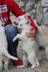 White-Swiss-Shepherd-Puppies-BTWW-GosaNostra-September-20092018-0035