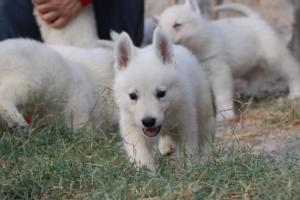 White-Swiss-Shepherd-Puppies-BTWW-GosaNostra-September-20092018-0036