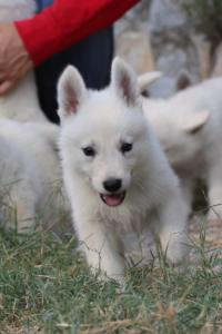 White-Swiss-Shepherd-Puppies-BTWW-GosaNostra-September-20092018-0037