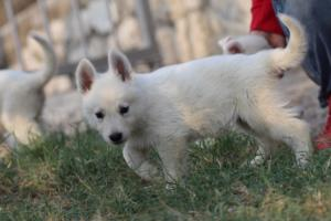 White-Swiss-Shepherd-Puppies-BTWW-GosaNostra-September-20092018-0038