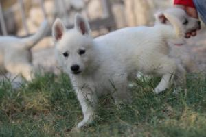 White-Swiss-Shepherd-Puppies-BTWW-GosaNostra-September-20092018-0039