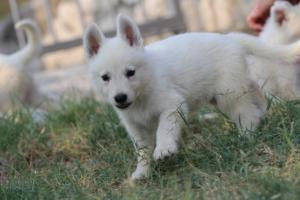 White-Swiss-Shepherd-Puppies-BTWW-GosaNostra-September-20092018-0040