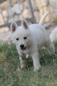 White-Swiss-Shepherd-Puppies-BTWW-GosaNostra-September-20092018-0041
