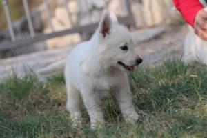 White-Swiss-Shepherd-Puppies-BTWW-GosaNostra-September-20092018-0042