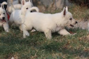 White-Swiss-Shepherd-Puppies-BTWW-GosaNostra-September-20092018-0043