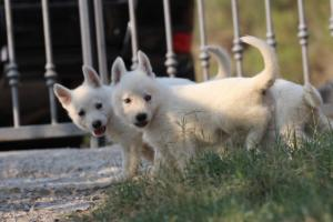 White-Swiss-Shepherd-Puppies-BTWW-GosaNostra-September-20092018-0045
