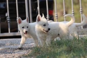 White-Swiss-Shepherd-Puppies-BTWW-GosaNostra-September-20092018-0046