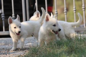 White-Swiss-Shepherd-Puppies-BTWW-GosaNostra-September-20092018-0047