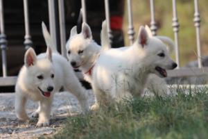 White-Swiss-Shepherd-Puppies-BTWW-GosaNostra-September-20092018-0048