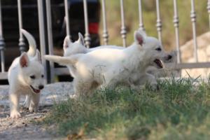 White-Swiss-Shepherd-Puppies-BTWW-GosaNostra-September-20092018-0049
