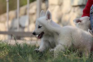 White-Swiss-Shepherd-Puppies-BTWW-GosaNostra-September-20092018-0050