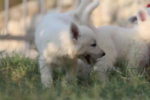 White-Swiss-Shepherd-Puppies-BTWW-GosaNostra-September-20092018-0051