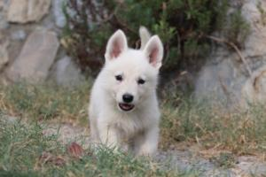 White-Swiss-Shepherd-Puppies-BTWW-GosaNostra-September-20092018-0053