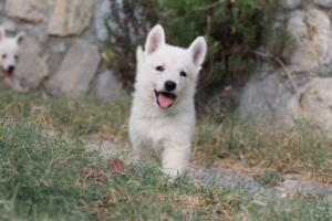 White-Swiss-Shepherd-Puppies-BTWW-GosaNostra-September-20092018-0054
