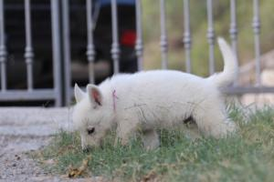 White-Swiss-Shepherd-Puppies-BTWW-GosaNostra-September-20092018-0056
