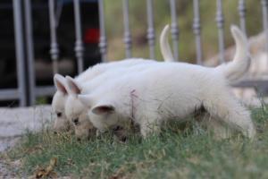 White-Swiss-Shepherd-Puppies-BTWW-GosaNostra-September-20092018-0057