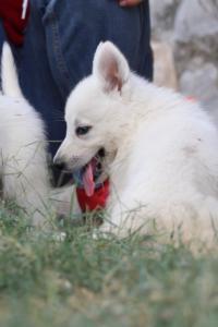 White-Swiss-Shepherd-Puppies-BTWW-GosaNostra-September-20092018-0058