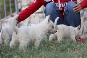 White-Swiss-Shepherd-Puppies-BTWW-GosaNostra-September-20092018-0061
