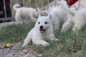 White-Swiss-Shepherd-Puppies-BTWW-GosaNostra-September-20092018-0062