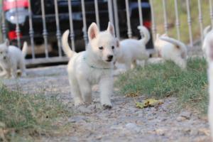 White-Swiss-Shepherd-Puppies-BTWW-GosaNostra-September-20092018-0063