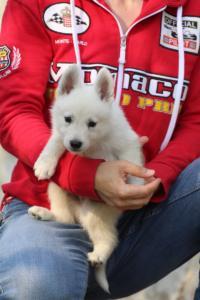 White-Swiss-Shepherd-Puppies-BTWW-GosaNostra-September-20092018-0070