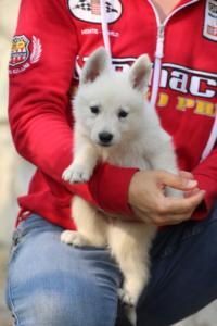 White-Swiss-Shepherd-Puppies-BTWW-GosaNostra-September-20092018-0071