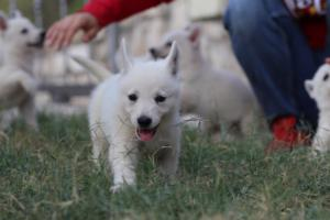 White-Swiss-Shepherd-Puppies-BTWW-GosaNostra-September-20092018-0072